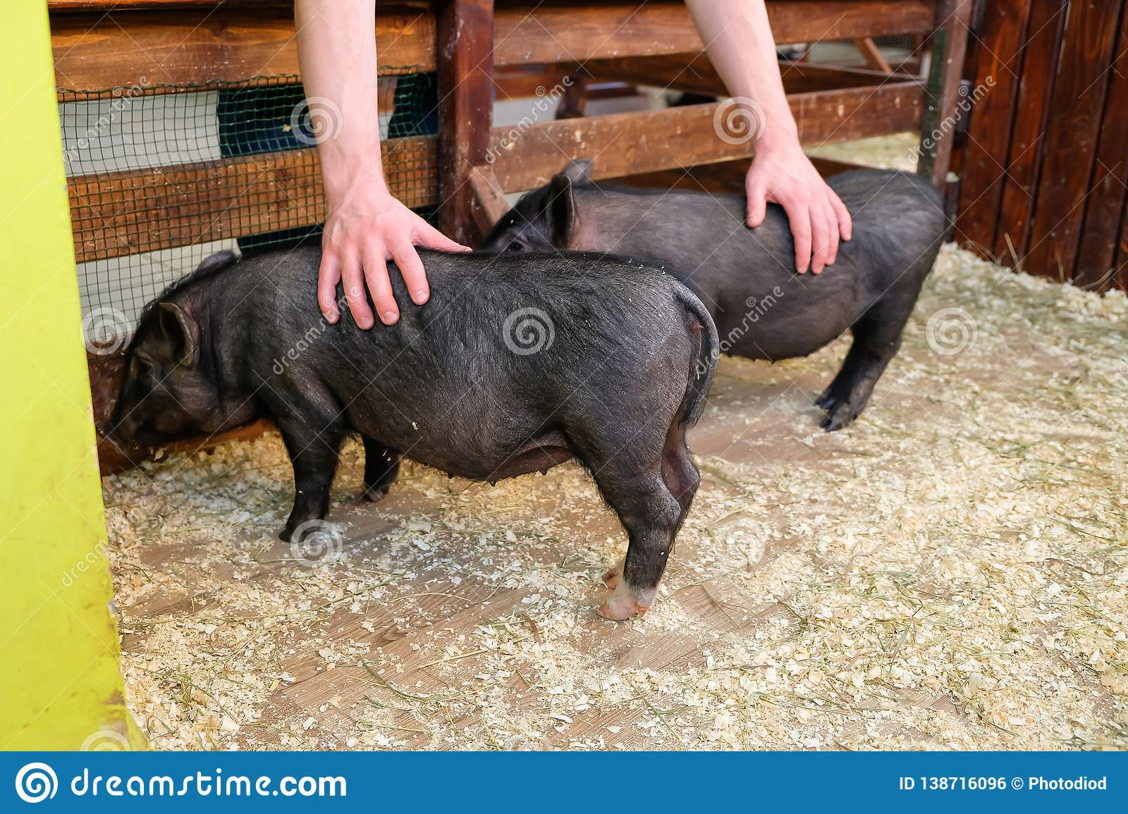 Little two black pigs lie near on the farm. Pig love. Piglets grunt in contact zoo. 2019 Chinese New Year
