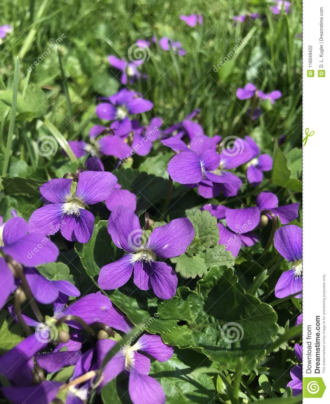 Little Violets In A Spring Lawn Weed Or Wildflower Friend Or Foe