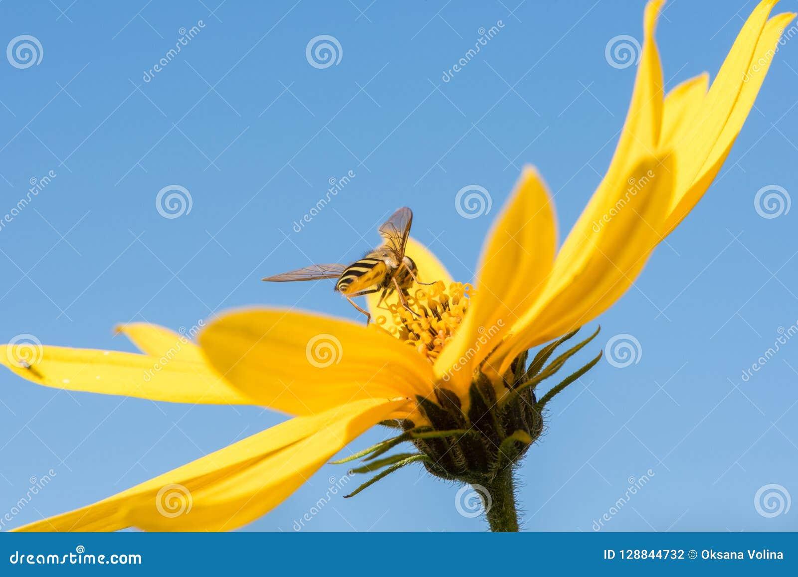 Little wasp collects nectar from flower Jerusalem artichoke in t