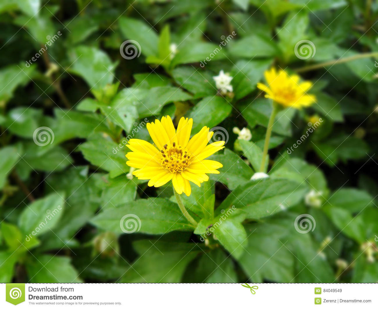 Little Weed Of Yellow Flower Singapore Dailsy Stock Image Image Of
