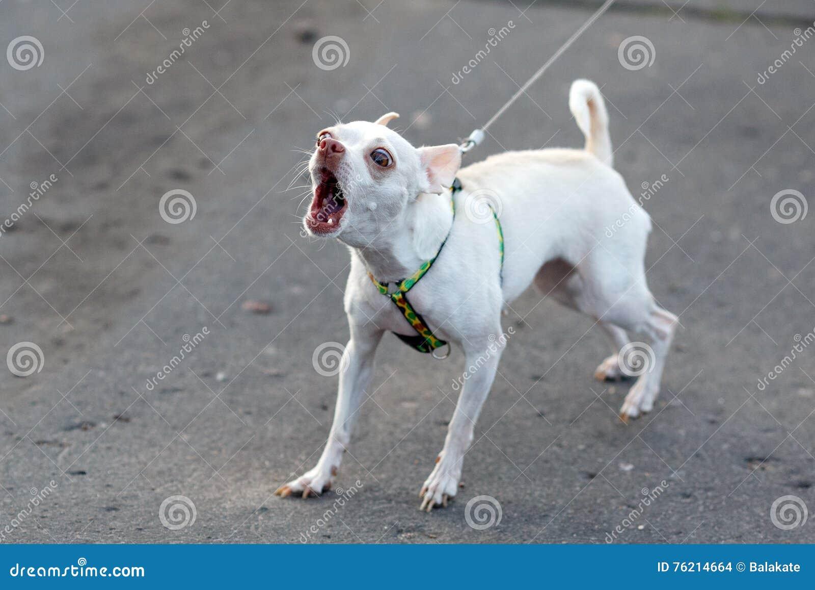 Chihuahua Dog Barking Sounds