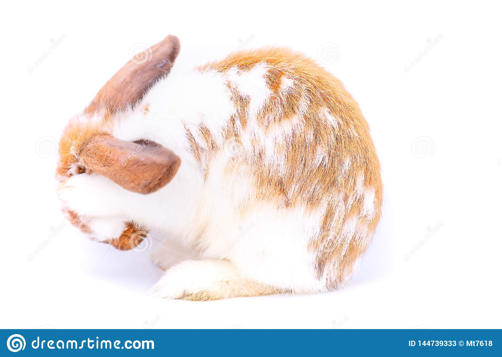 Little white and brown bunny rabbit use front legs to clean its head on white background