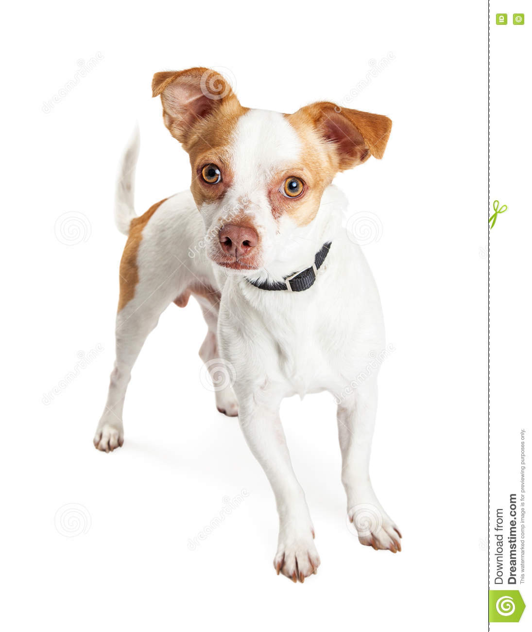Brown And White Dog Little White An...