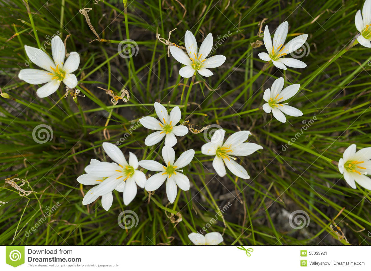 Little white flower stock image image of quite vivid 50033921 the small white flowers in the grass mightylinksfo
