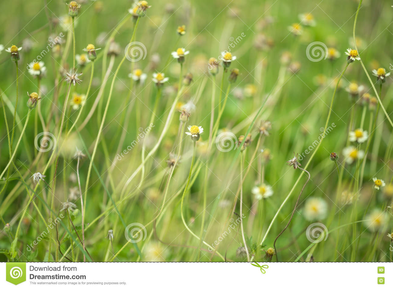 Little White Flower With Yellow Pollen Little Iron Weed Stock Photo