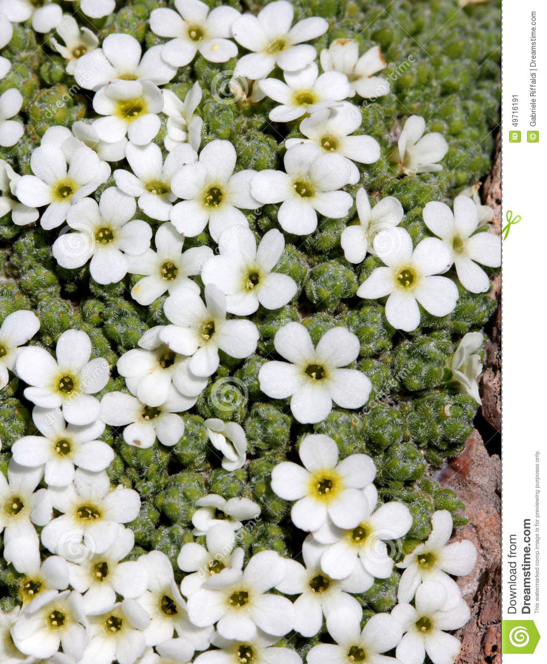 Tiny white flowers gallery fresh lotus flowers little white flowers androsace helvetica stock image image of mightylinksfo
