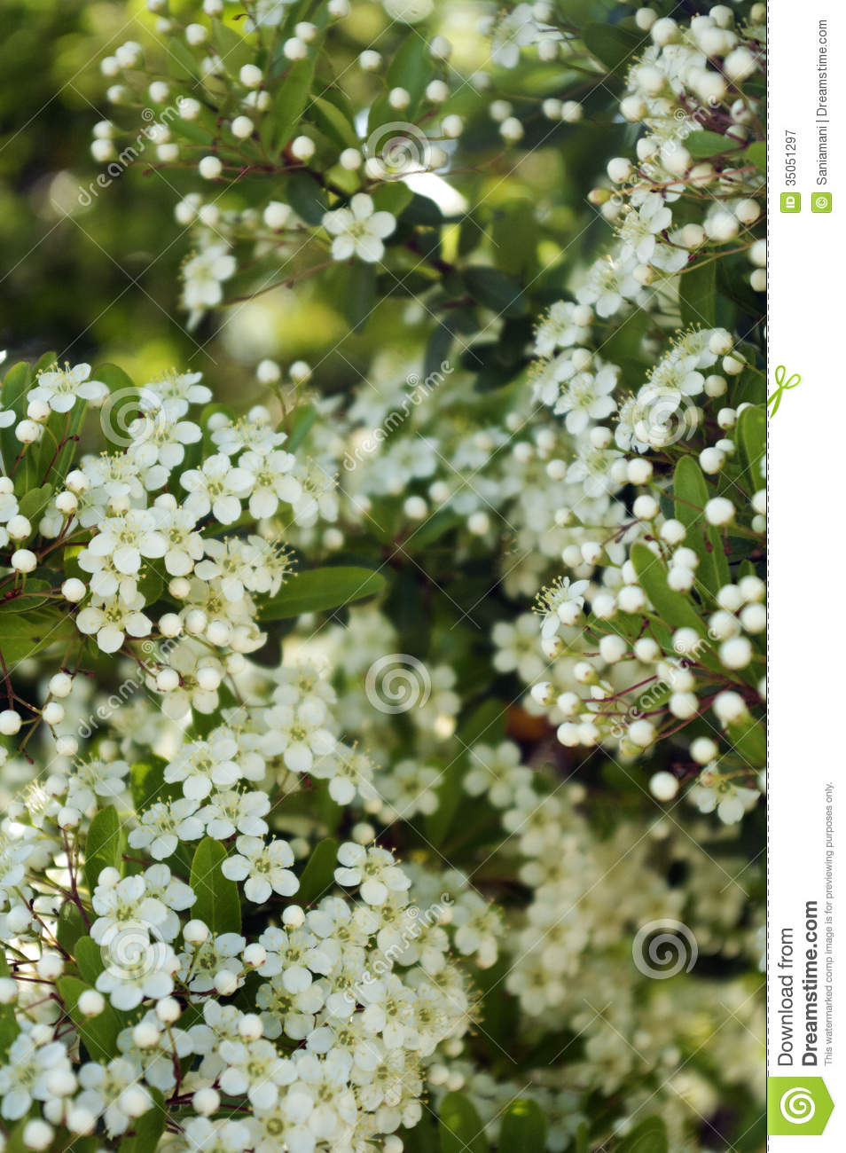 Lovely tree with little white flowers images wedding and flowers little white flowers stock image image of flowers detail 35051297 mightylinksfo Image collections