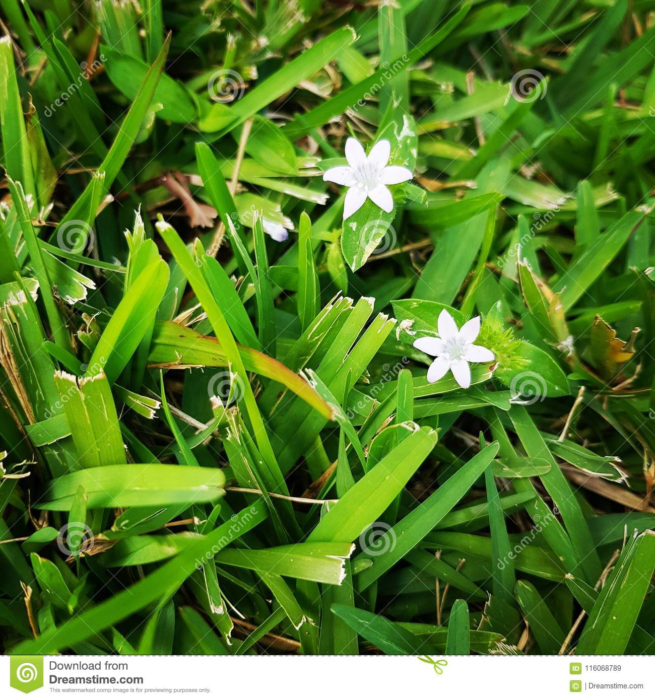 White Flowers In Grass Stock Image Image Of Grass Little 116068789