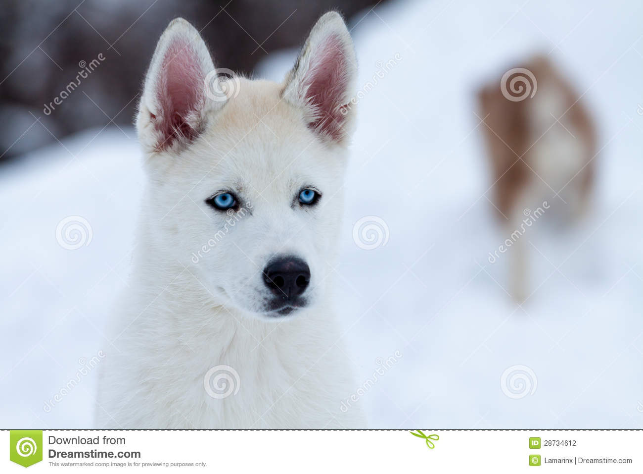 Little White Husky With Blue Eyes Close Up Stock