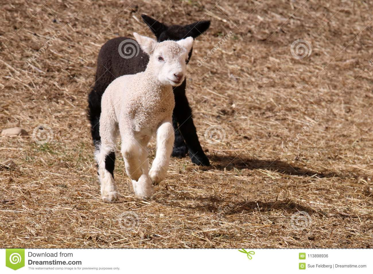 Running Lambs stock photo  Image of animal, agriculture