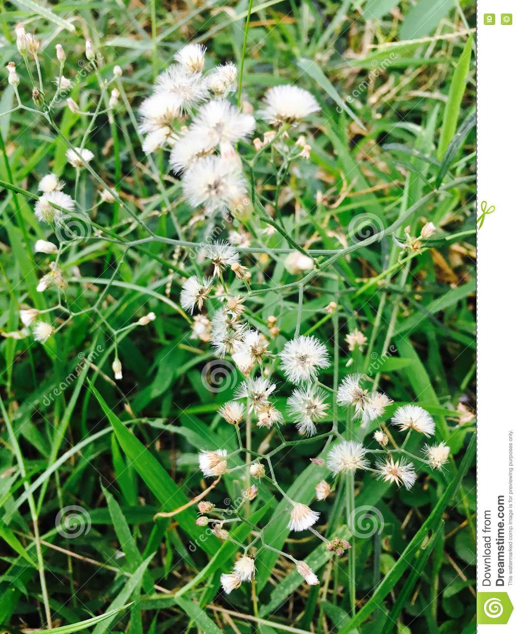 Attractive what are the little white flowers growing in my lawn what are the little white flowers growing in my lawn gallery mightylinksfo