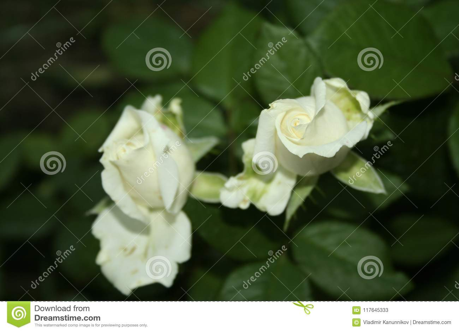 Little White Rose Flowers Stock Image Image Of Flowers 117645333