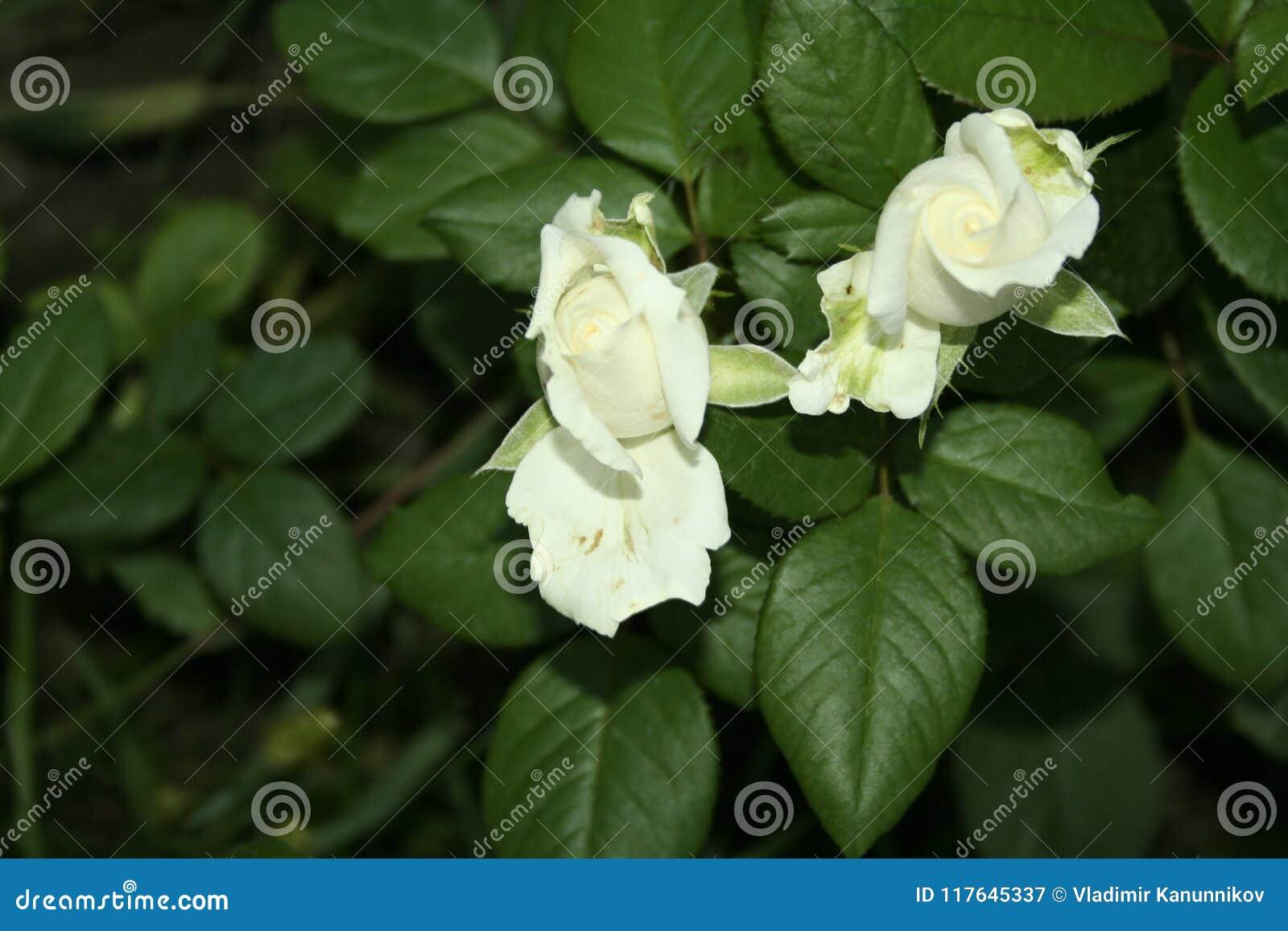 Little White Rose Flowers Stock Image Image Of Light 117645337