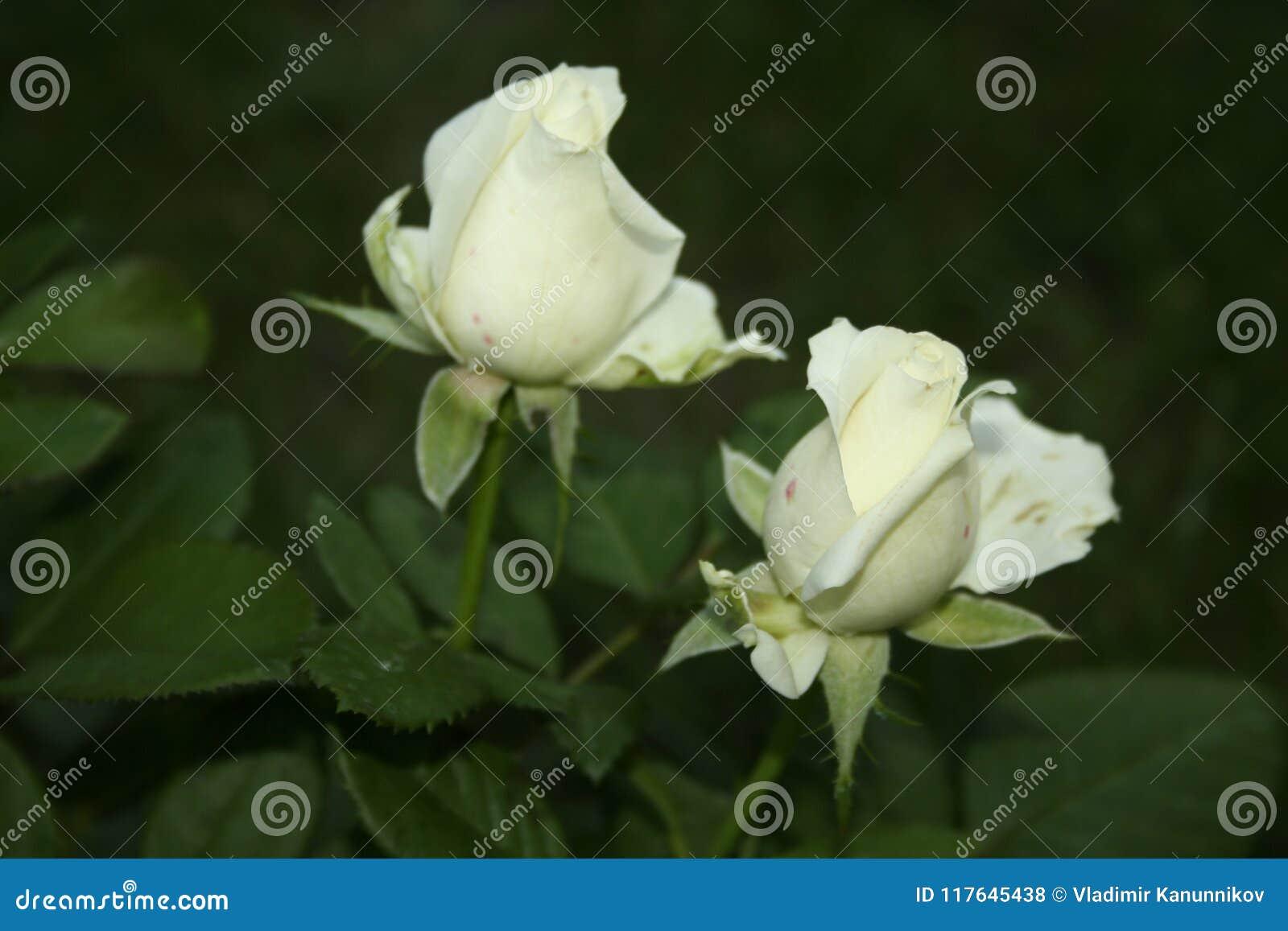 Little White Rose Flowers Stock Photo Image Of White 117645438