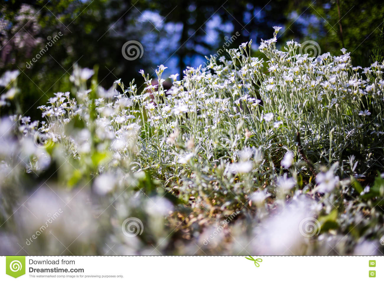 Little Wild White Flowers Stock Photo Image Of Bloom 71997372