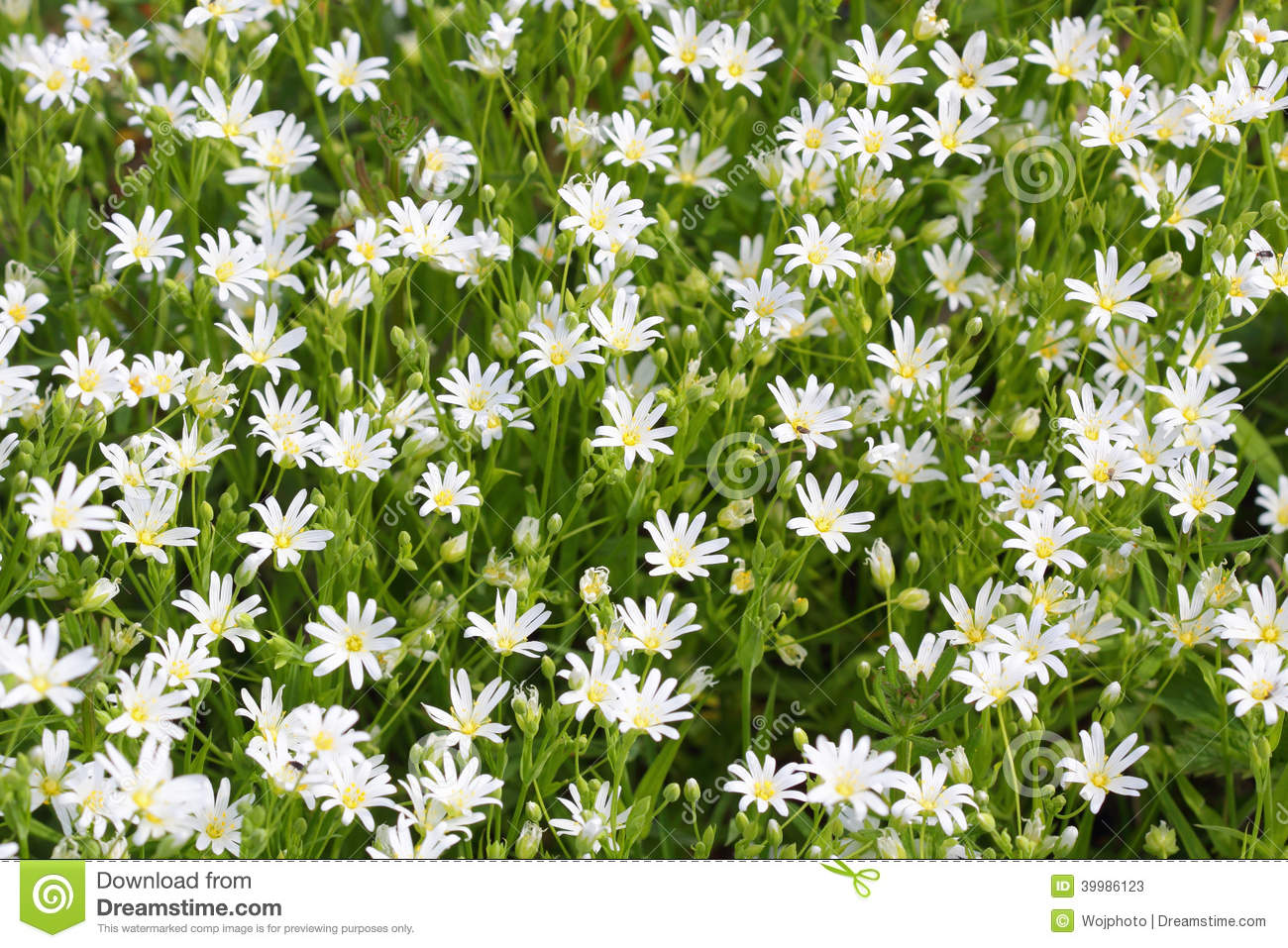 Little Wild White Flowers Blooming In Spring Stock Image Image Of