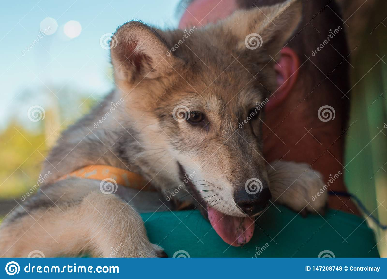 Little wolf in the arms of a man
