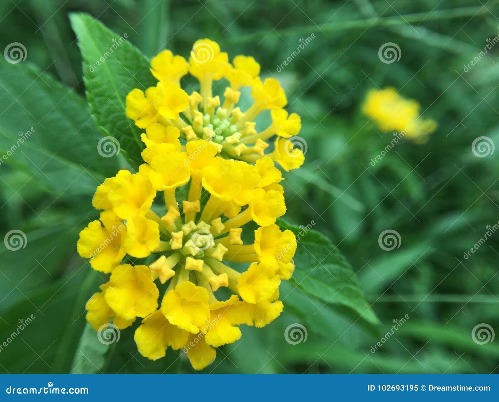 Little Yellow Flower Stock Image Image Of Little Yellow 102693195