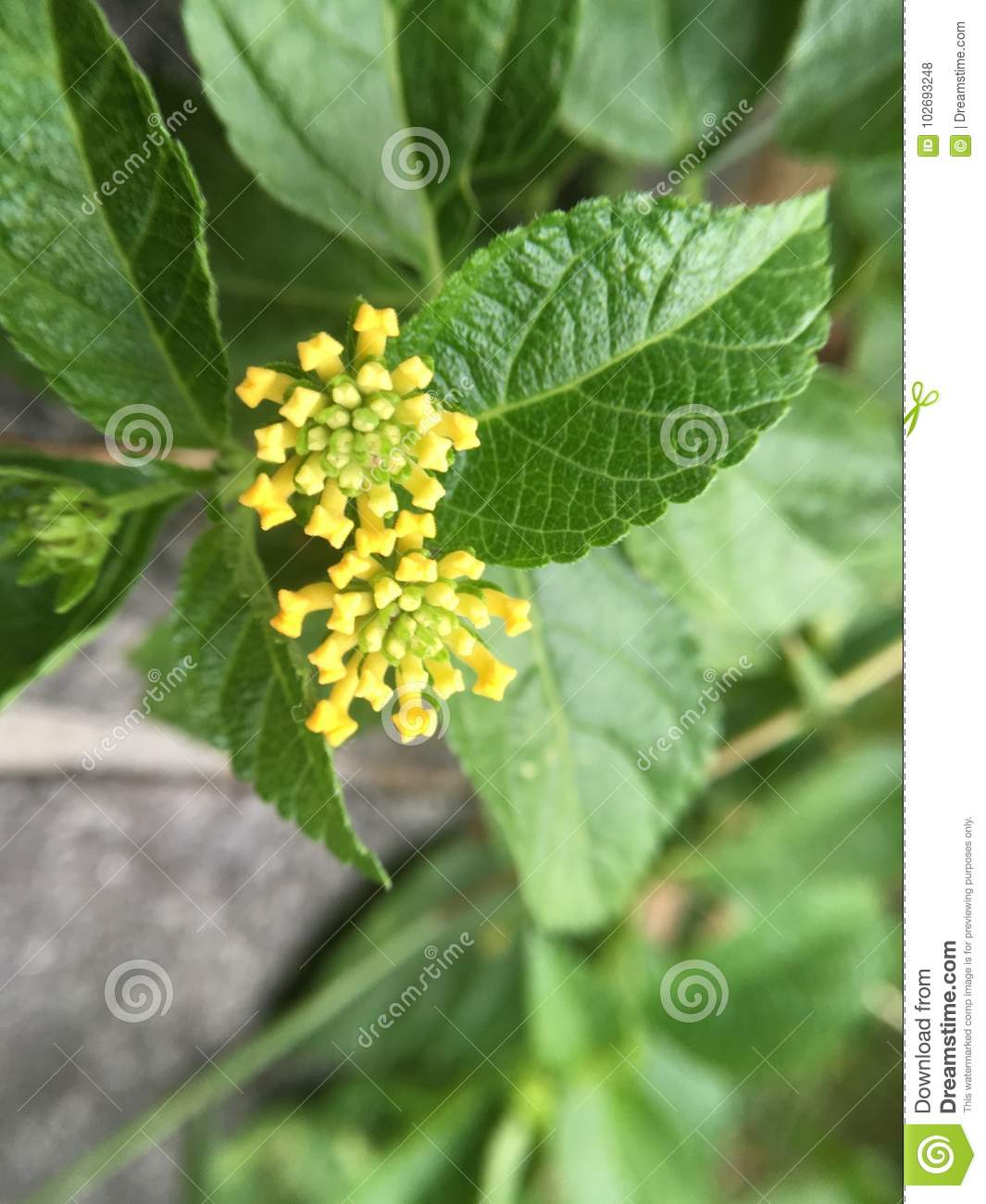 Little yellow flower ball stock photo image of flowering 102693248 little yellow flower ball mightylinksfo