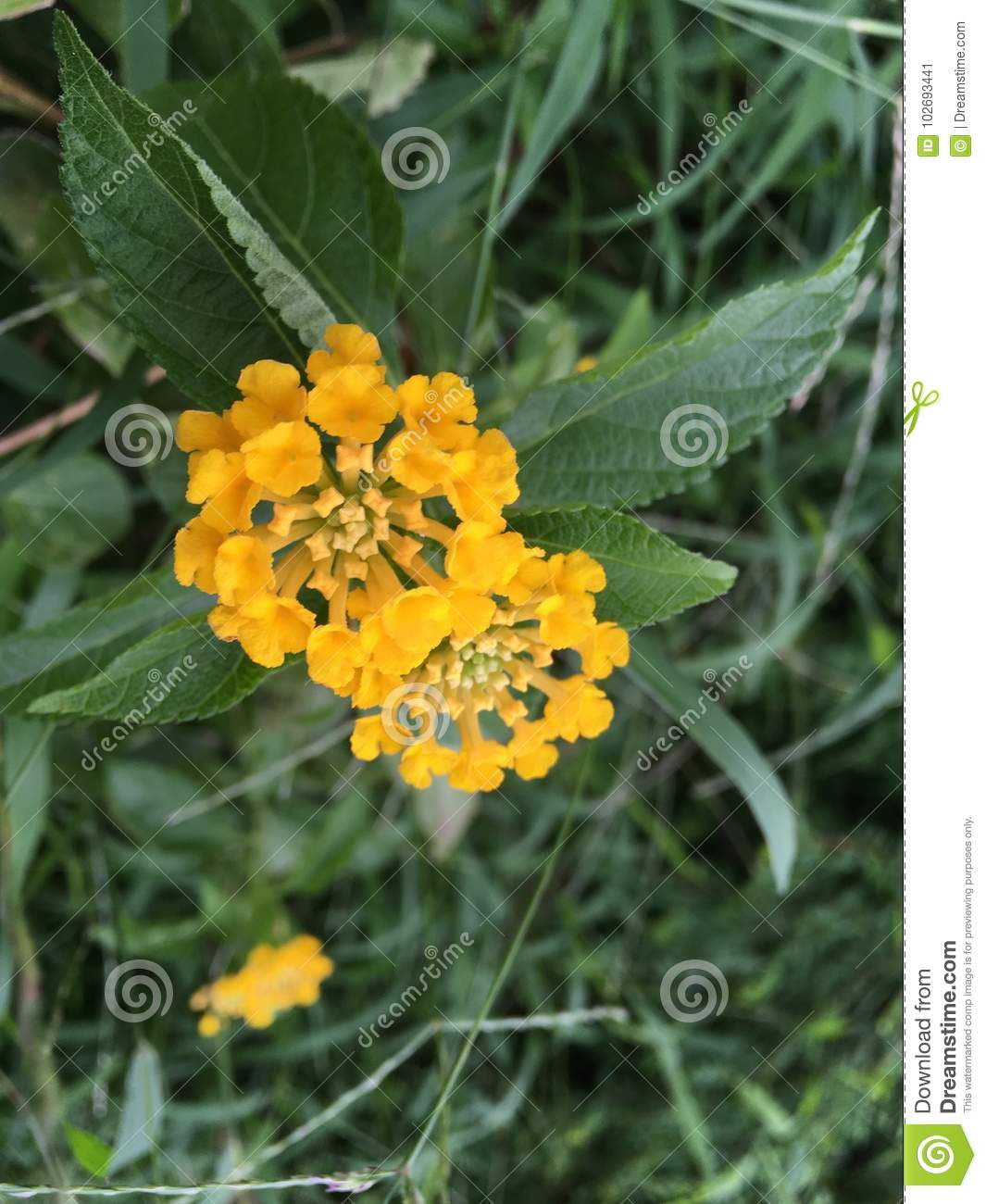 Little Yellow Flower Ball Stock Image Image Of Closer 102693441