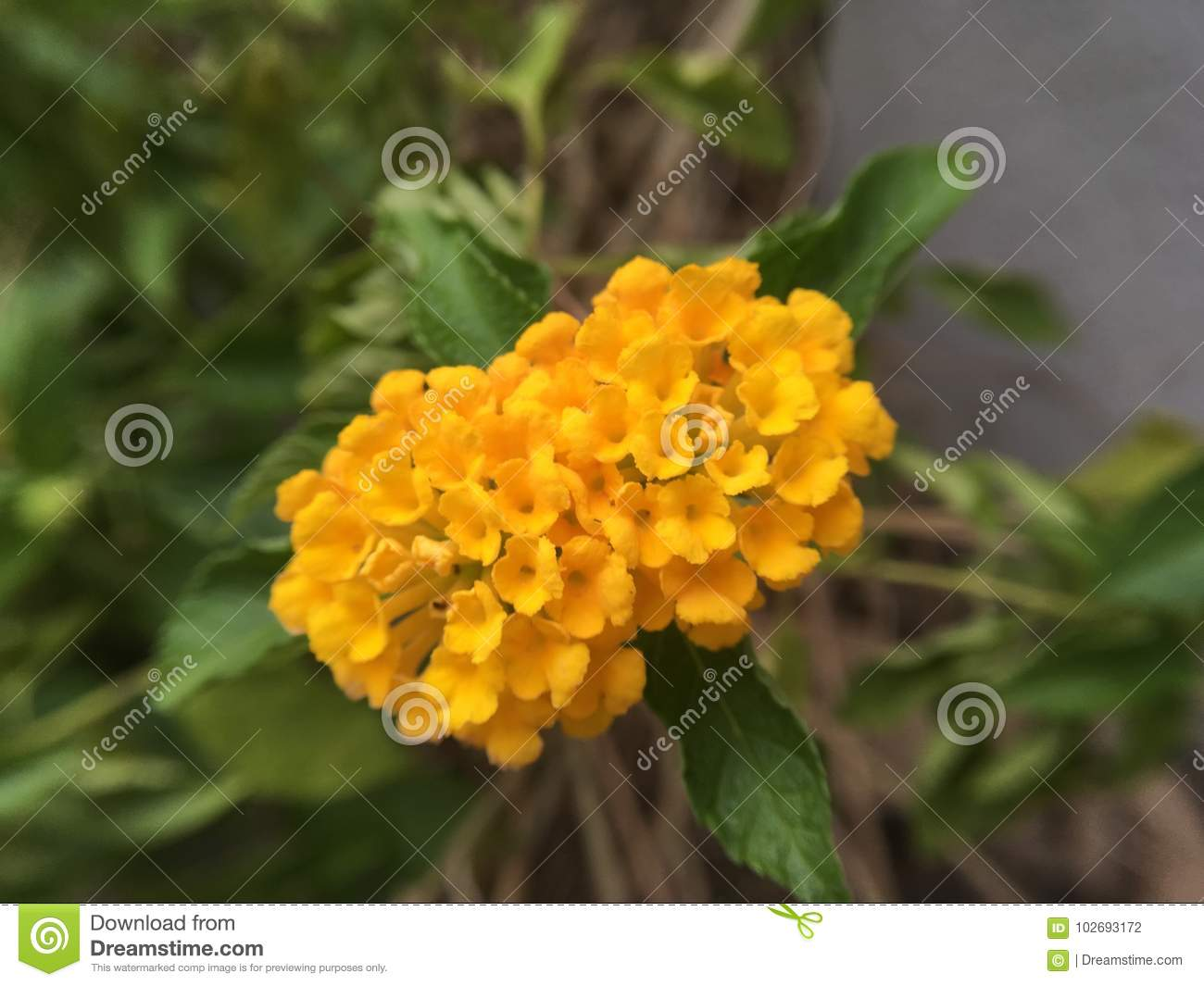 Little yellow flower stock photo image of hong little 102693172 little yellow flower mightylinksfo