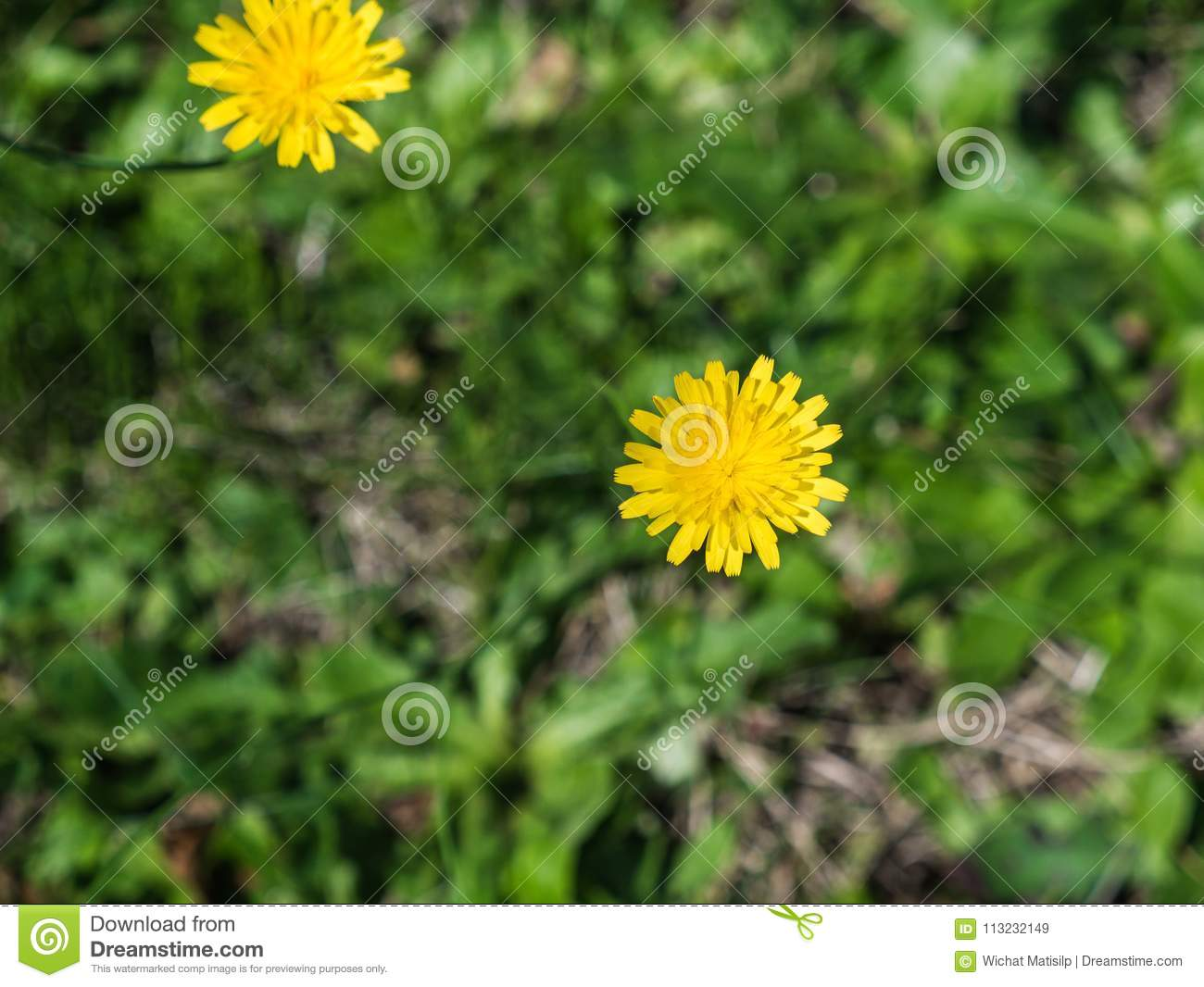 Little yellow flowers blooming on the ground stock image image of download little yellow flowers blooming on the ground stock image image of bloom colorful mightylinksfo