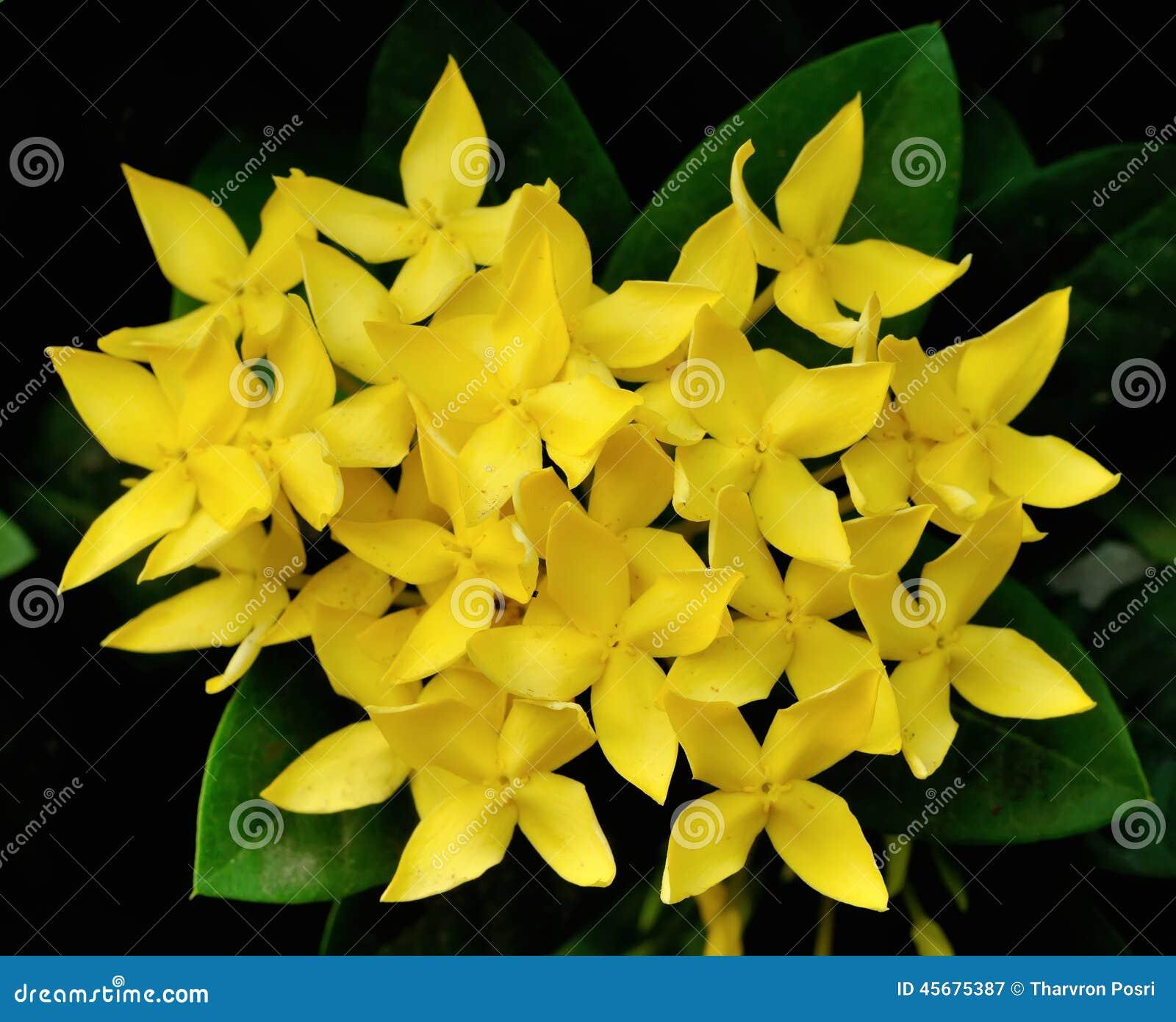 Little Yellow Flowers Of Rubiaceae Tree Jungle Geranium Ixora