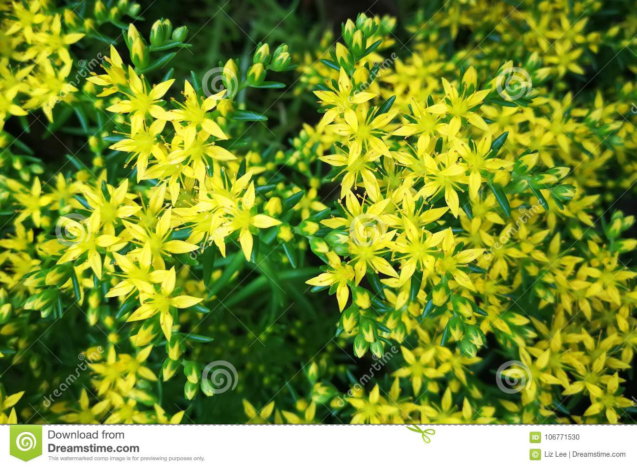 Little yellow flowers stock photo image of grass flower 106771530 download little yellow flowers stock photo image of grass flower 106771530 mightylinksfo