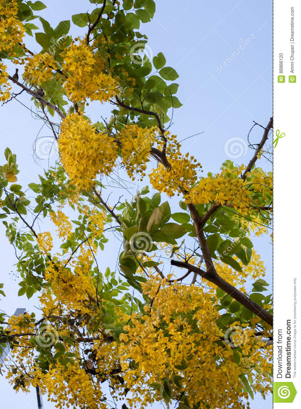 Little Yellow Flowers On Tree From Lower View With Blue Sky