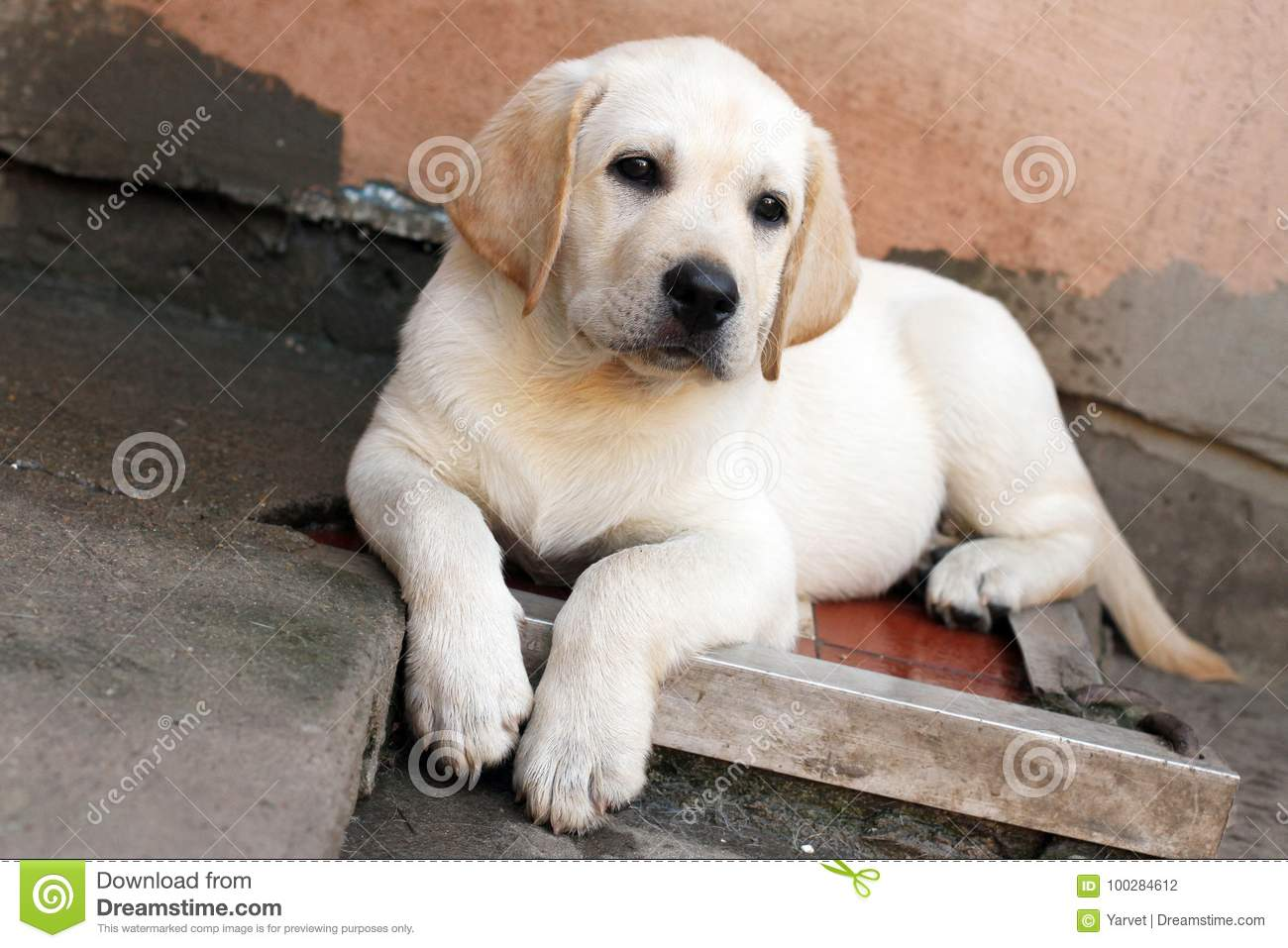 The little labrador puppy in the yard