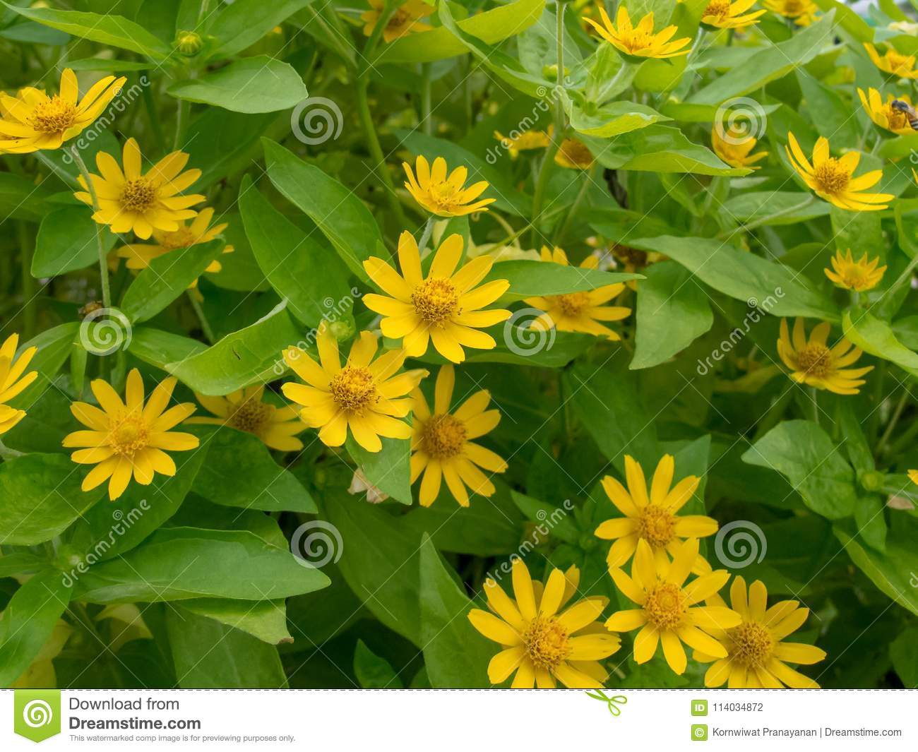 Little yellow star flowers on green leafs background stock photo download little yellow star flowers on green leafs background stock photo image of flowersn mightylinksfo