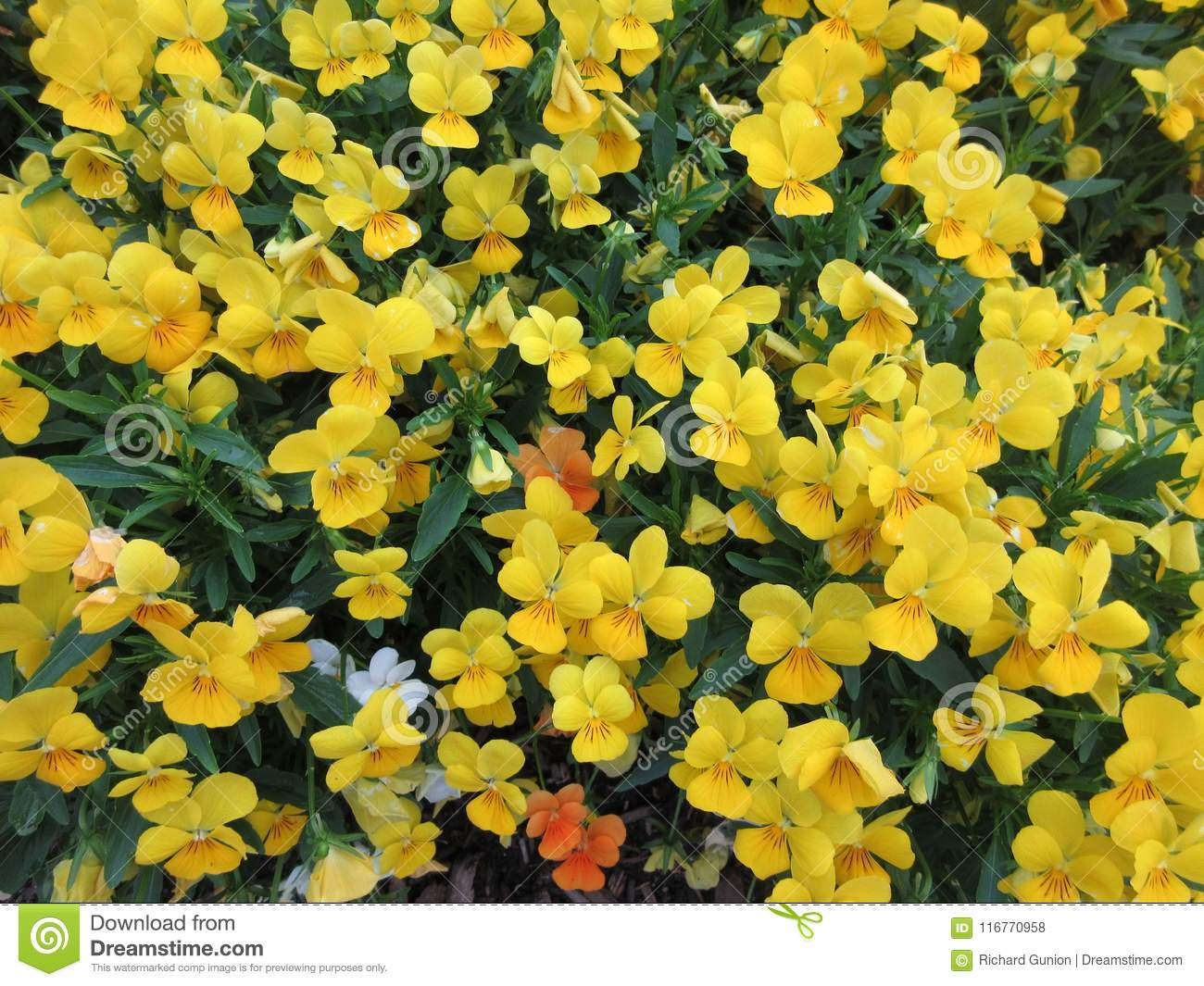 Little Yellow Violet Flowers Stock Photo Image Of Flowers Leaves