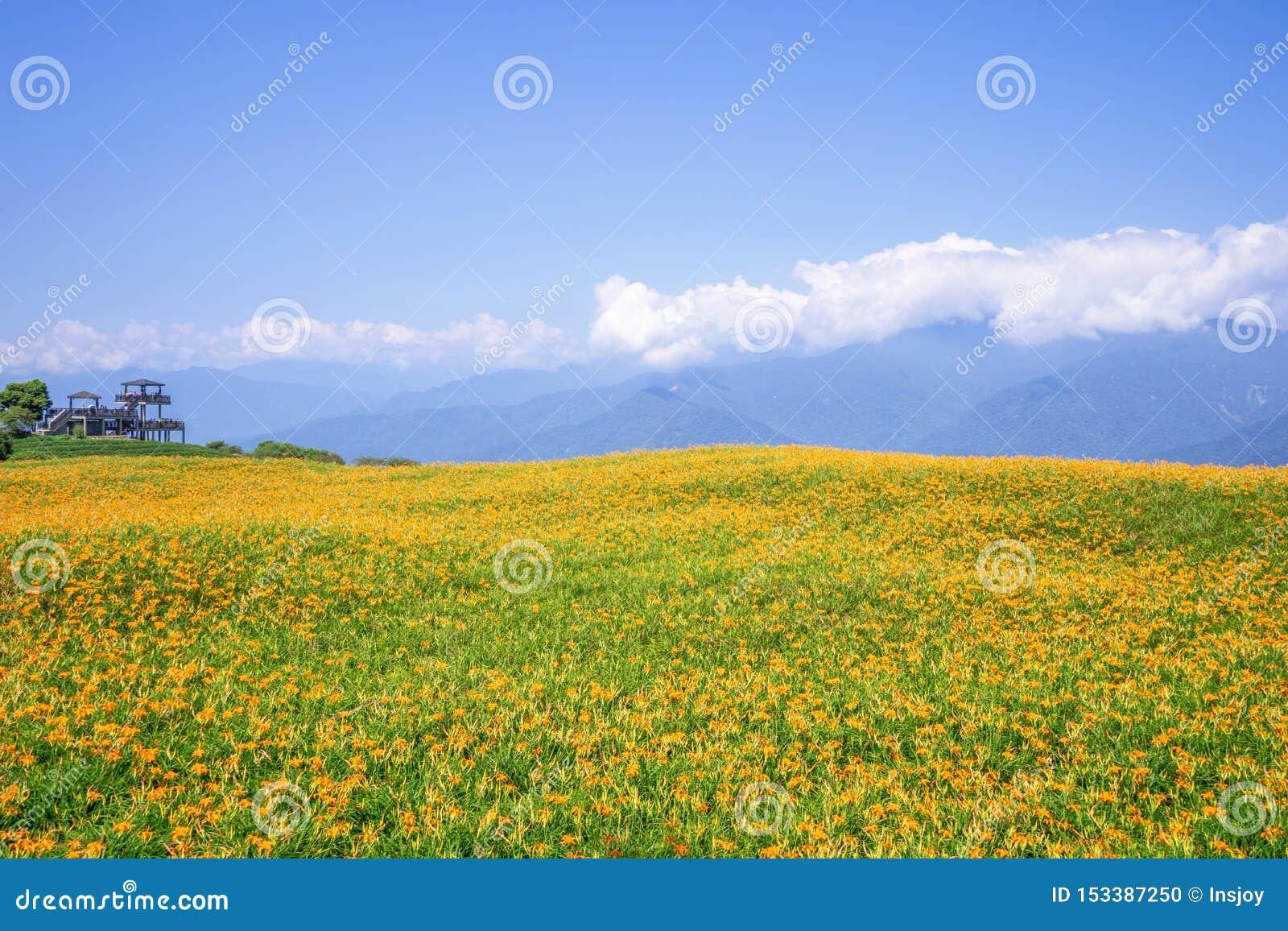 Liushidan山六十岩石山的美丽的橙色黄花菜花农场与天空蔚蓝和云彩在台湾花莲富里乡,