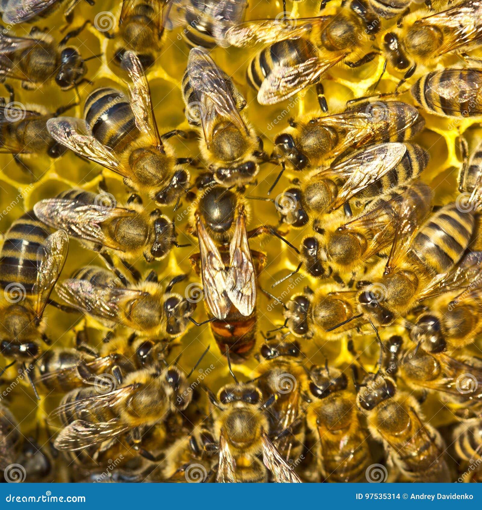 Liv och reproduktion av bin Drottningbiet lägger ägg i honeycoen