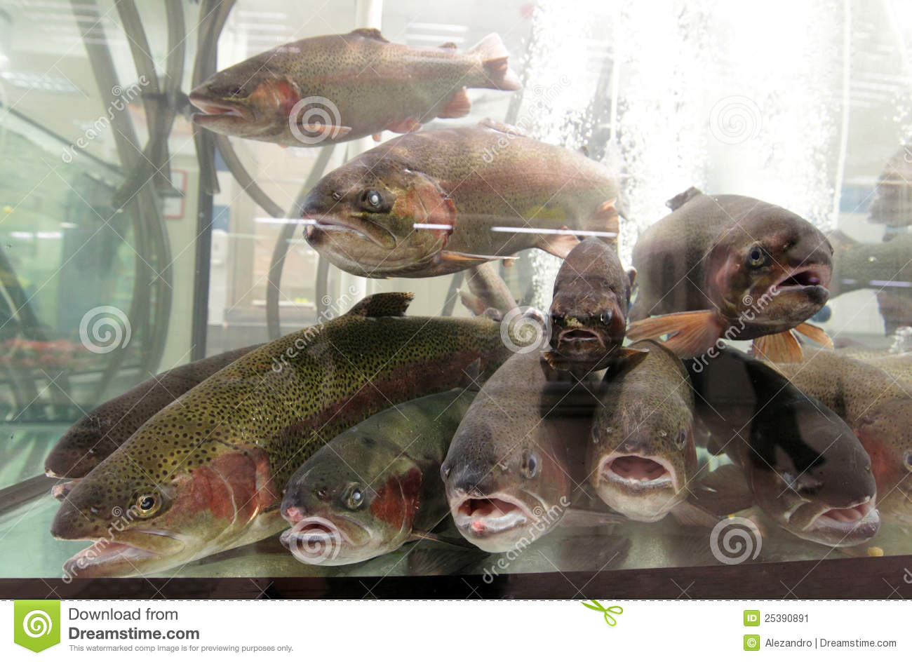 Live aquarium trout fish for sale stock image image for Live fish for sale online