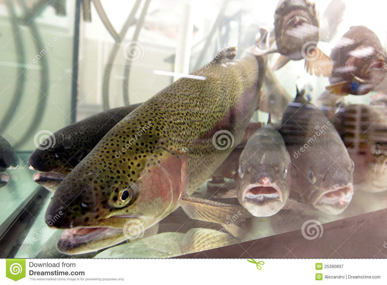 live aquarium trout fish for sale royalty free stock