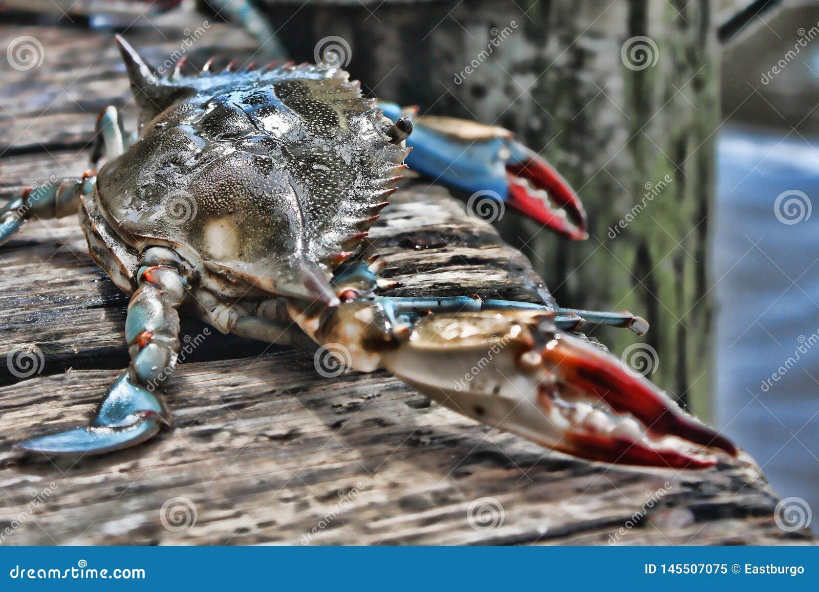 LIve Crab en un muelle en la Florida
