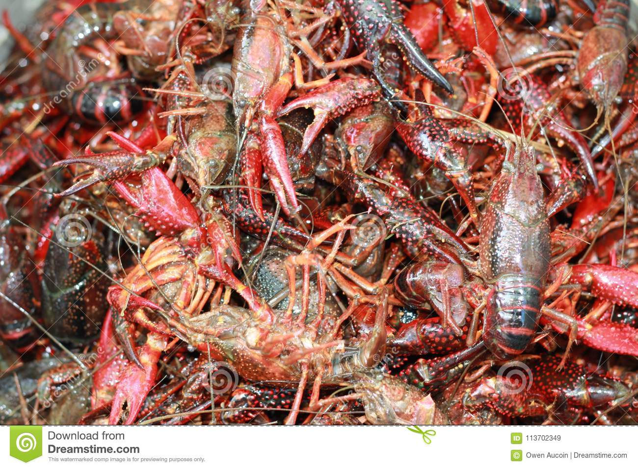 Live Crawfish, Waiting To Be Put In A Pot For Boiling In