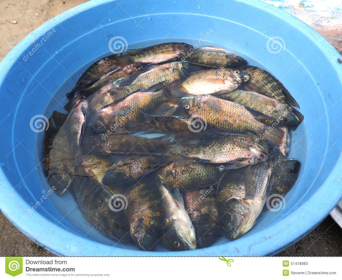 Live fish stock photo image 51418983 for Live fish online