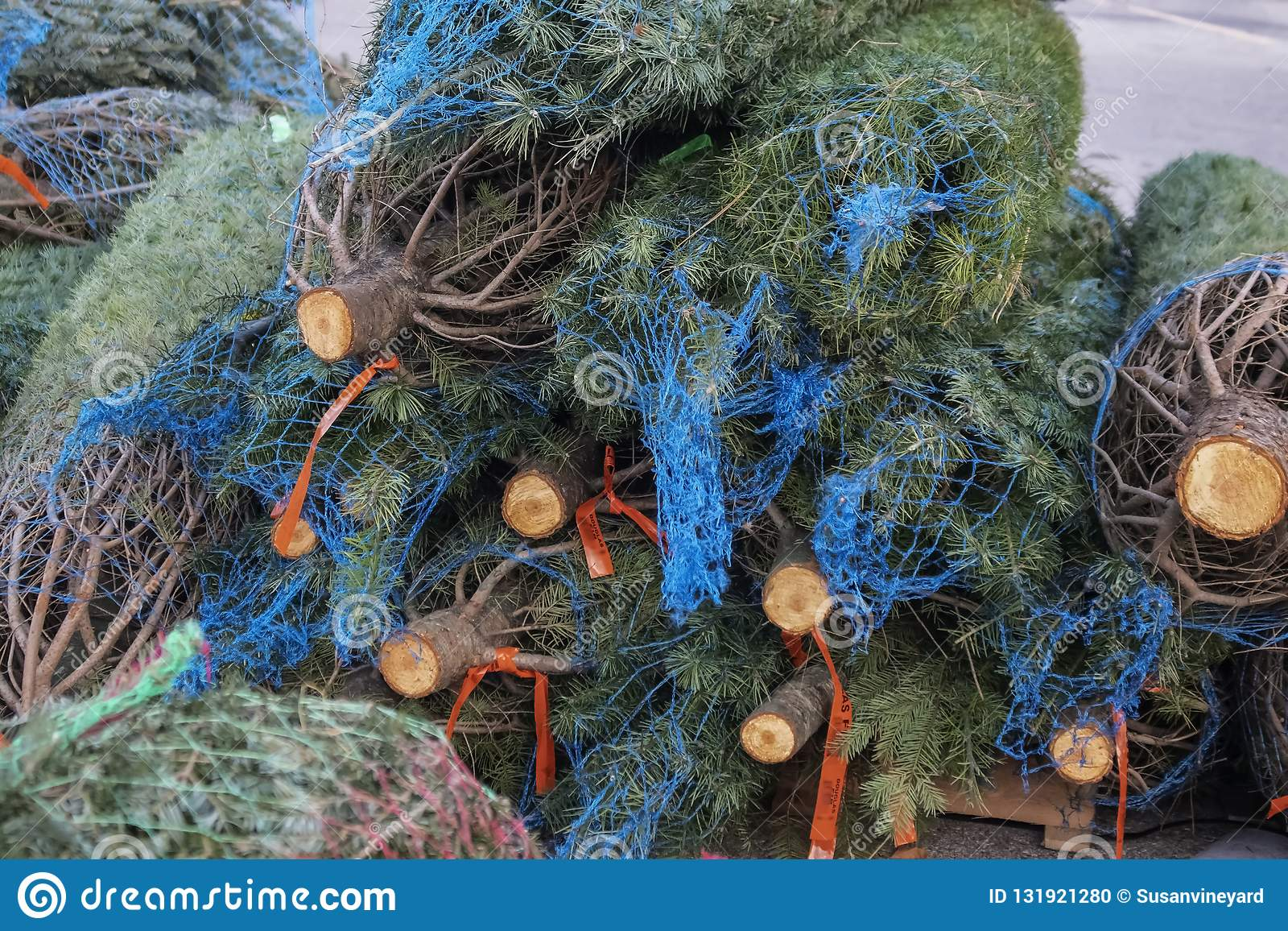 Live Fresh Douglas Fir Christmas Trees In Netting On A Palette To Be
