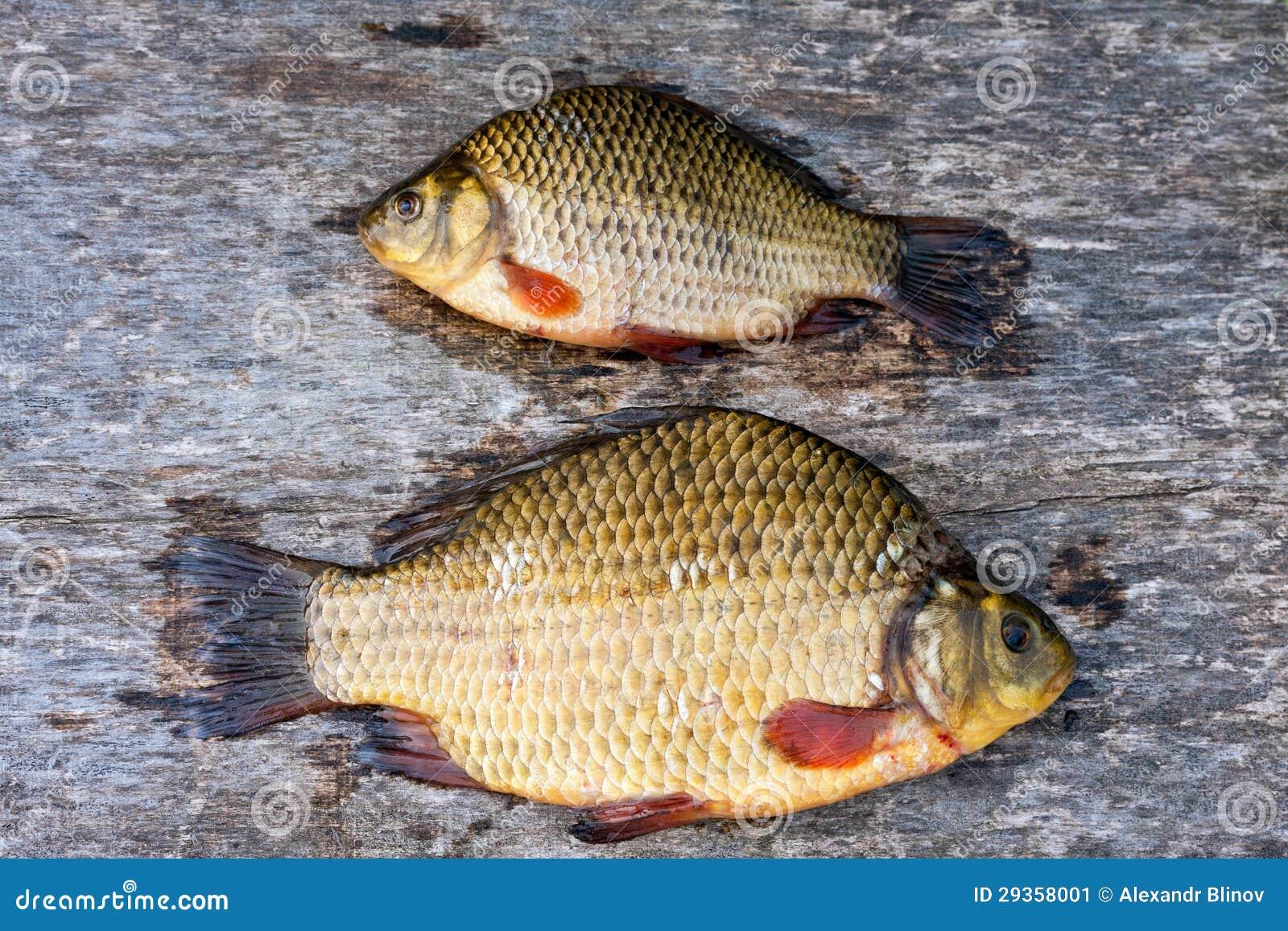 Freshwater carp - photo#9