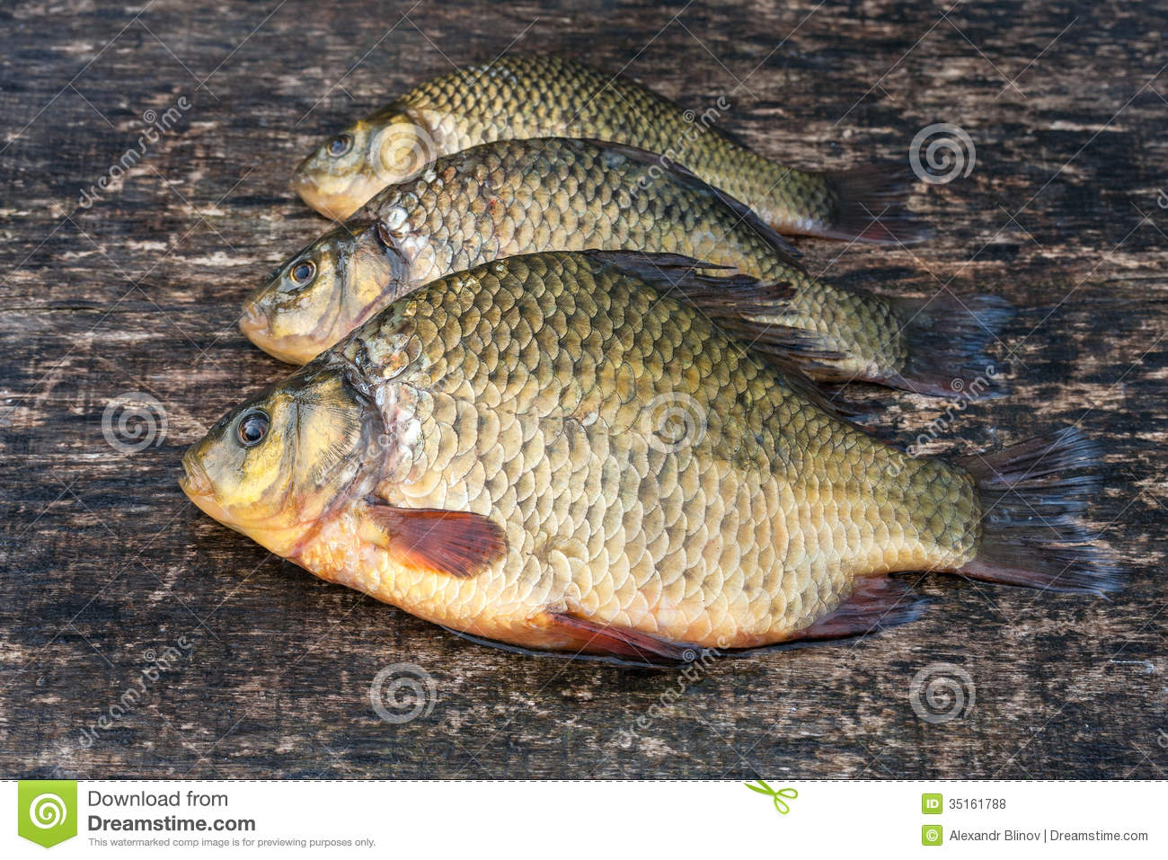 Live freshwater fish crucian royalty free stock photos for Photos of fish