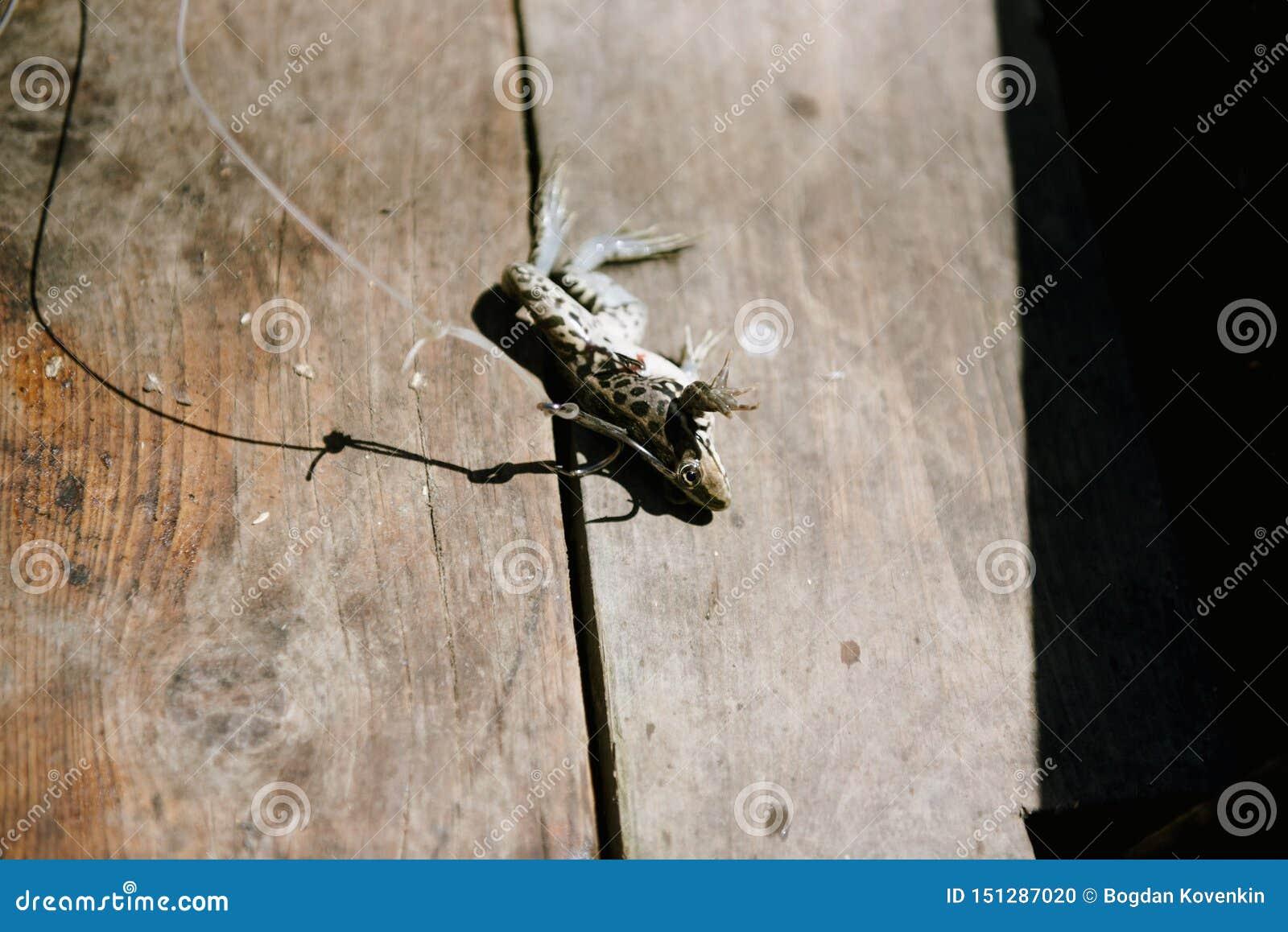 Live Frog, empalado em um grande gancho de pesca
