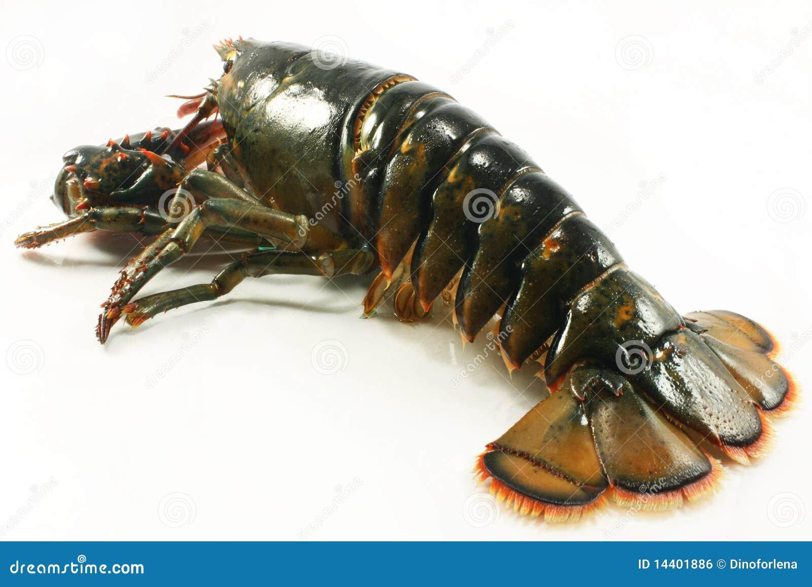 Live lobster stock photo. Image of animal, invertebrate - 14401886