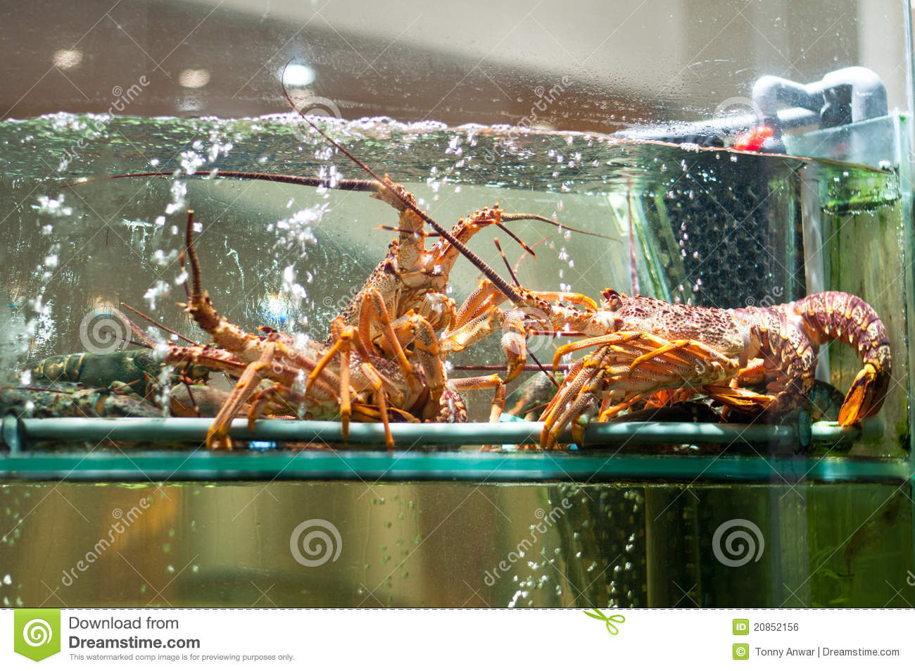 Live lobster royalty free stock image image 20852156 for Online aquarium fish store