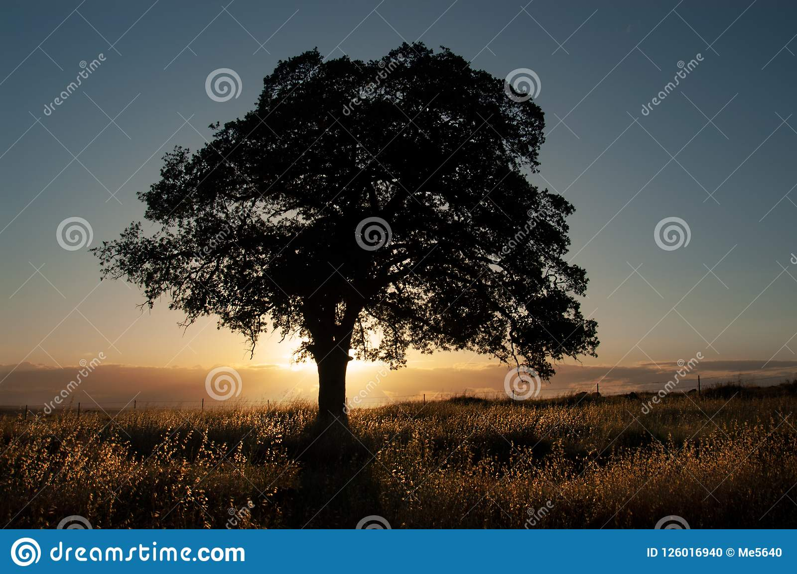 A live oak is silhouetted in front of the golden light of sunset.