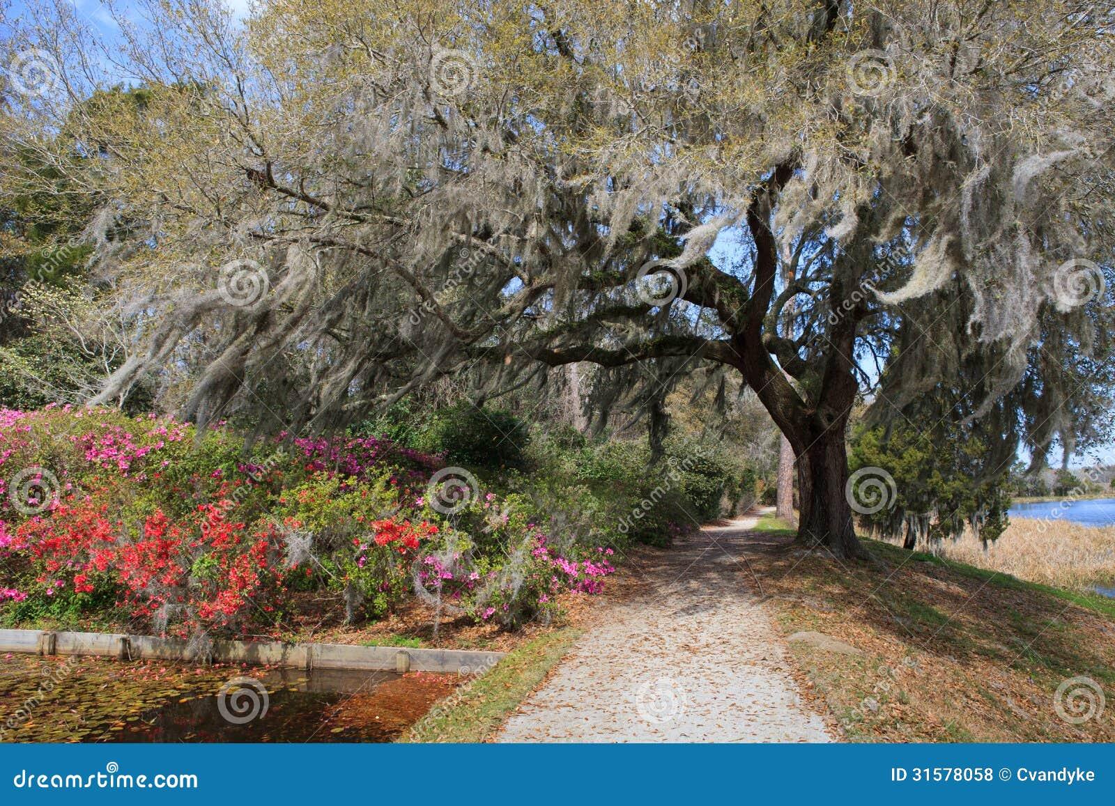 Charleston SC Live Oak Tree Hanging Moss Stock Photo ...