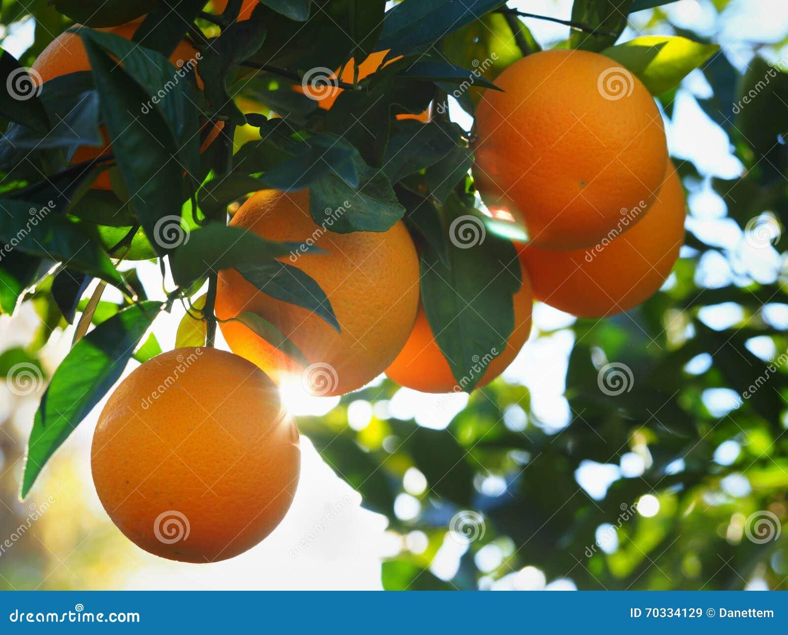 Live Orange Tree com Valencia Oranges maduro