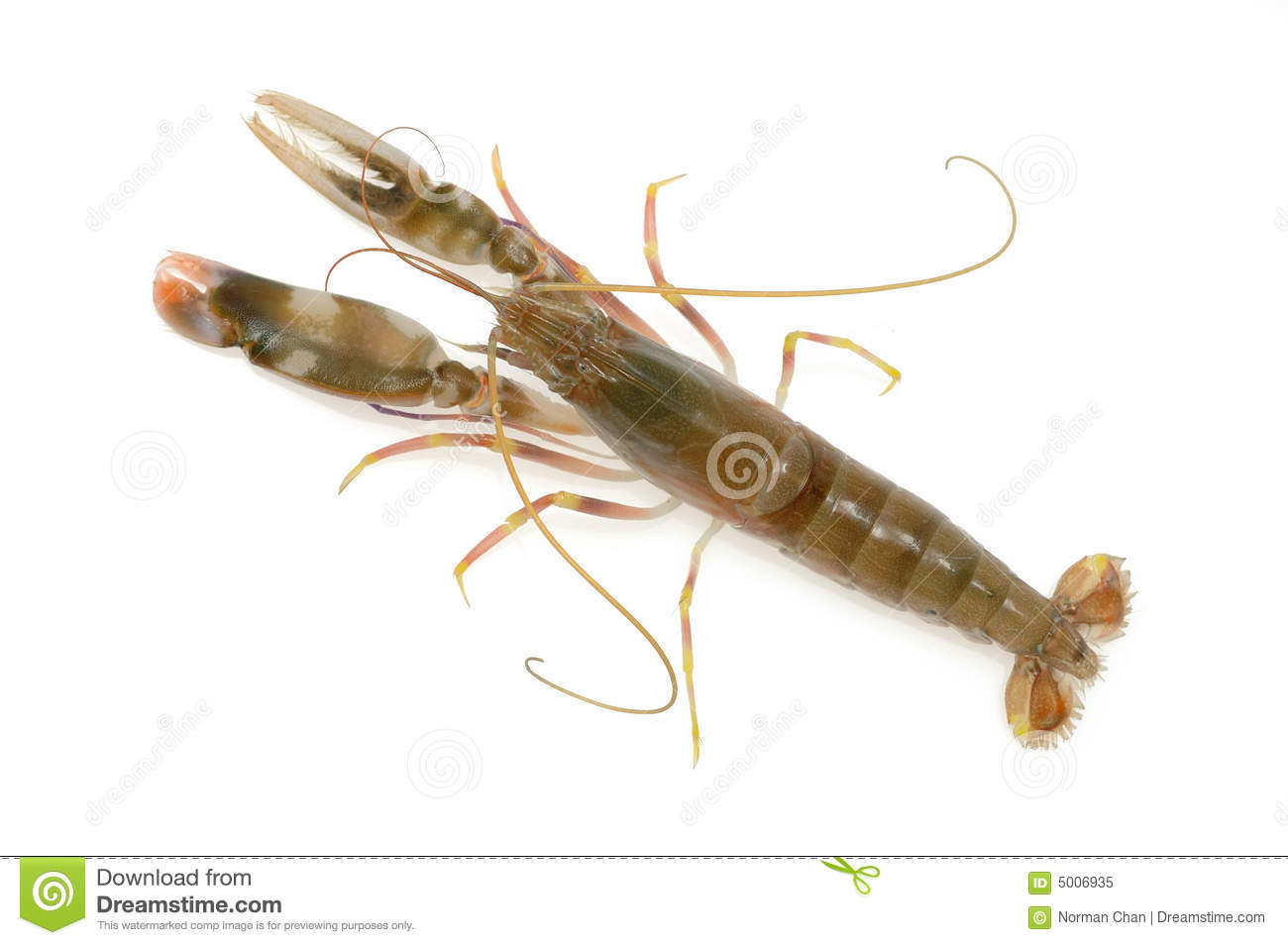 live shrimp royalty free stock photo image 5006935