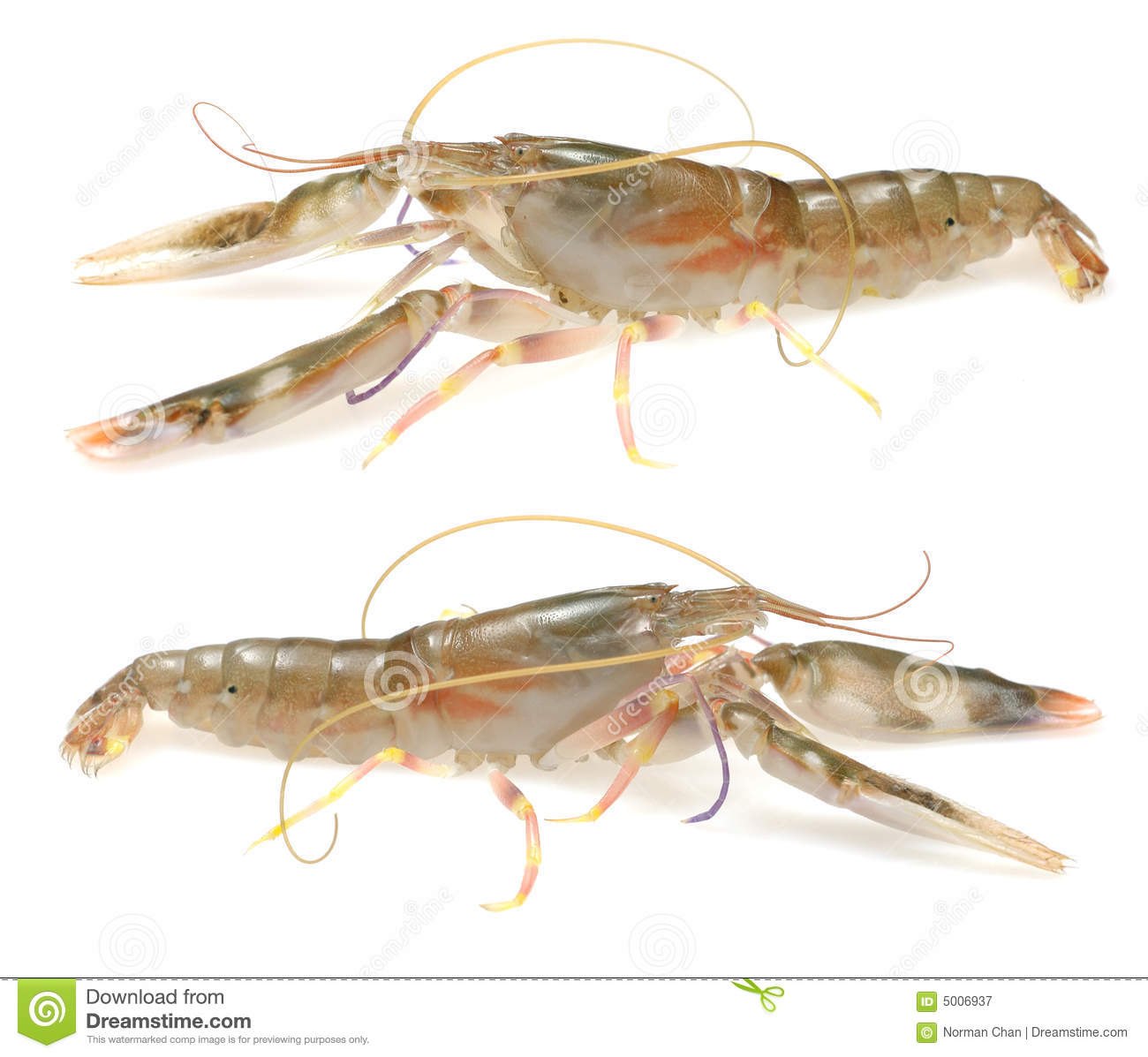live shrimp royalty free stock photography image 5006937